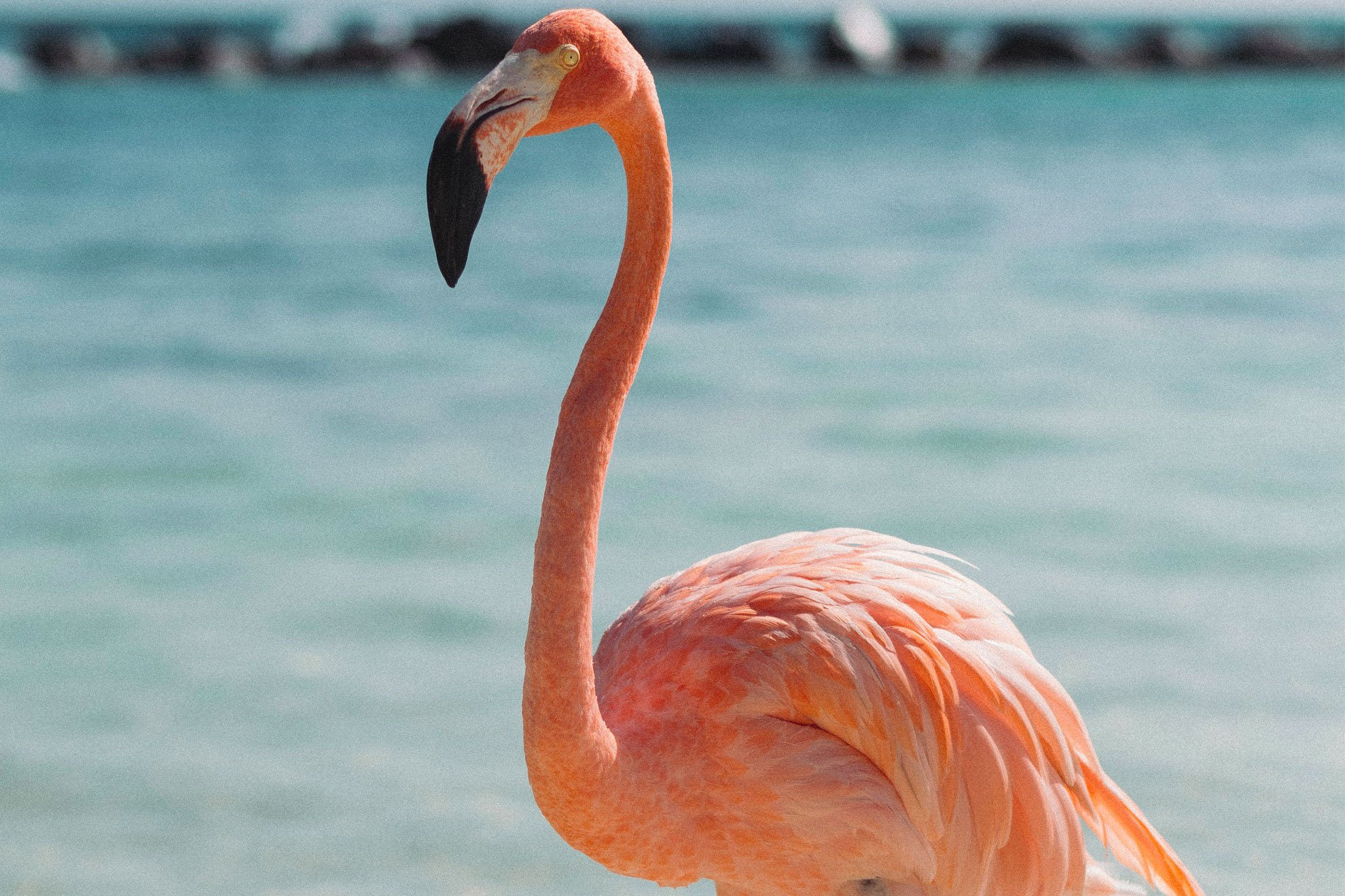 Where to see pink flamingos in Colombia?